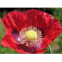 ST015  Papavero rosso