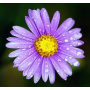 ST033  Aster